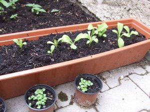 Basilikum und Ringelblumen